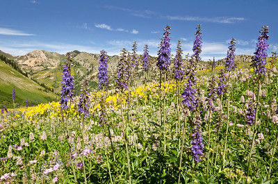 flo28: Phyllis captured the tall spires of late larkspur, along with the cone-shaped flowers of giant hyssop in the Albion Meadows area of Little Cottonwood Canyon in late summer