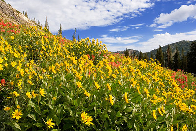 Showy goldeneye flowers, along with Indian paintbrush, high above the Albion Meadows area, Little Cottonwood Canyon