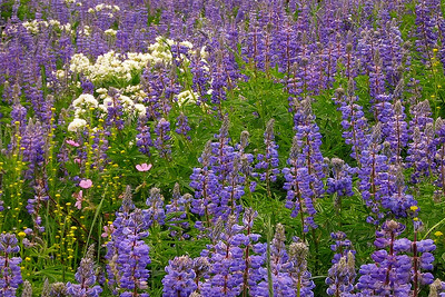 flo19: leafy Jacob's ladder and silvery lupine by Phyllis