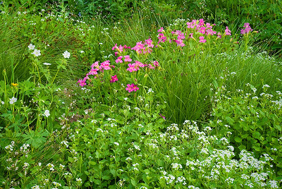 A Wasatch wildflower garden found near a small stream by Bill. The magenta flowers are Lewis monkey flowers; large white flowers are Richardson's geraniums, and the small white ones are heartleaf bittercress