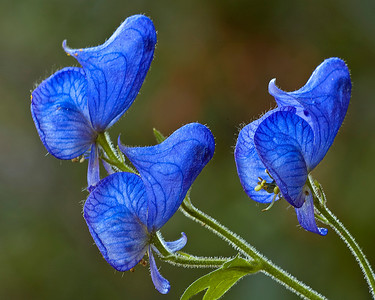 flo35:  Monkshood, Wasatch Mountains, Utah