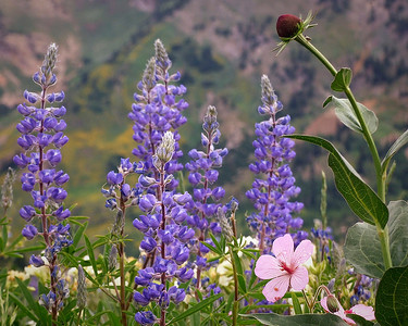 flo18: Silvey lupines, sticky geraniums and a cone flower by Phyllis; Albion Meadows area of Little Cottonwood Canyon, Wasatch Mountains