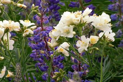 a portrait of leafy Jacob's ladder and silvery lupine by Phyllis