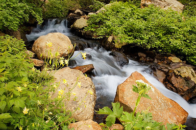 Yellow columbines along a stream in Big Cottonwood Canyon, Wasatch Mountains