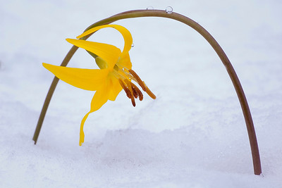 "Bill hiked into Ferguson Canyon near our house after an early spring snow shower and found this ""delicate arch"" of a Glacier Lily bent over by snow."