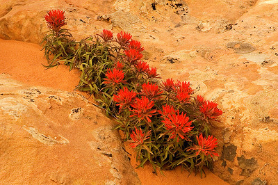 flo22: desert (wavy) Indian paintbrush; southern Utah