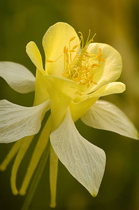 flo24: yellow columbine, Wasatch Mountains