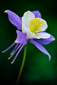 flo32:  Western Columbine, Colorado version, photographed in the Crested Butte area of the Colorado Rockies