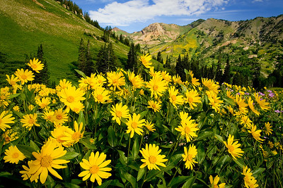 showy goldeneye sunflowers in the Albion Meadows area , Little Cottonwood Canyon, Wasatch Mountains