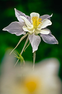flo33:  Western Columbine, Utah version, photographed in the Wasatch Mountains