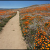 Road with Blooming Poppies, Antelope Valley California Poppy Reserve, California