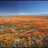 Blooming Poppy Fields, Antelope Valley California Poppy Reserve, CA