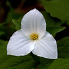 A Trillium Flower In Bloom At Clifton Gorge In Greene County Ohio 4-20-2013