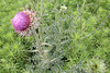 A smaller thistle plant in all its prickly glory. The plant surrounding it is called mare's tail.