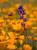 California Poppies & Lupine