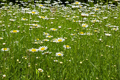 Field of Daisys