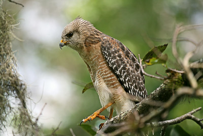 Red Shoulder Hawk at Corkscrew Swamp