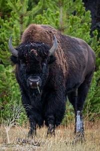 wlc Yellowstone 0919 3782019