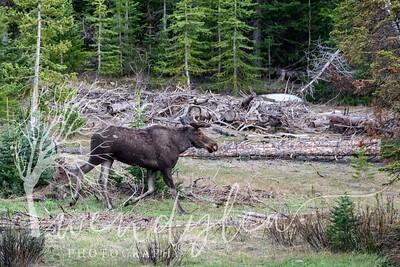 wlc moose1282020