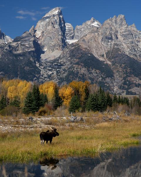 Teton Moose