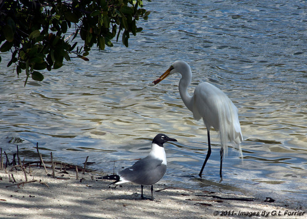 Laughing Gull And Egret