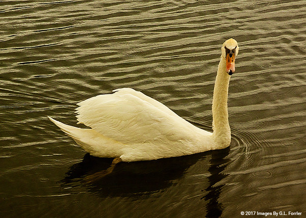 A Poetry In Motion -- White Swan