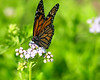 Alighted Upon<br /> <br /> A migrating monarch butterfly alights upon a flower at the Texas Discovery Gardens<br /> Dallas, Texas, USA