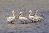 Odd Pod<br /> <br /> Off the shores of the Texas coast this squad of pelicans relax in the shallow waters of Padre Island National Seashore<br /> Padre Island, Texas, USA