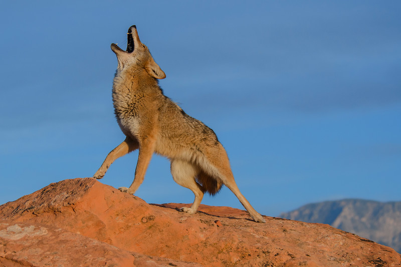 Song of the Coyote