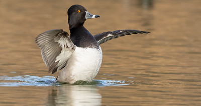 Ring Necked Duck In Action