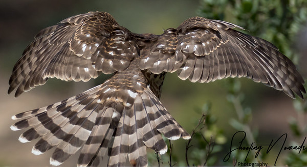 Stealth Hunter-Coopers Hawk-Back View