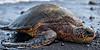 On The Beach<br /> <br /> A green sea turtle rests upon the black beach of Punalu'u<br /> Big Island, Hawai'i, USA