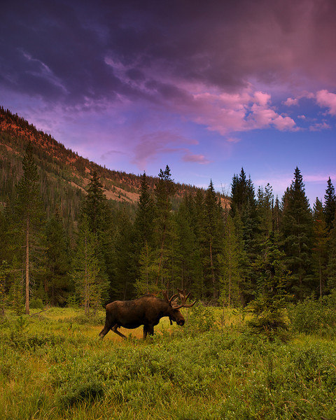 Bull Moose of the Uinta's
