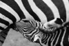 Stripes Nursing<br /> <br /> A zebra foal nursing<br /> Fossil Rim Wildlife Center, Glen Rose, Texas