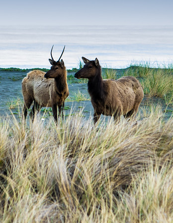 Young Elk at the Beach