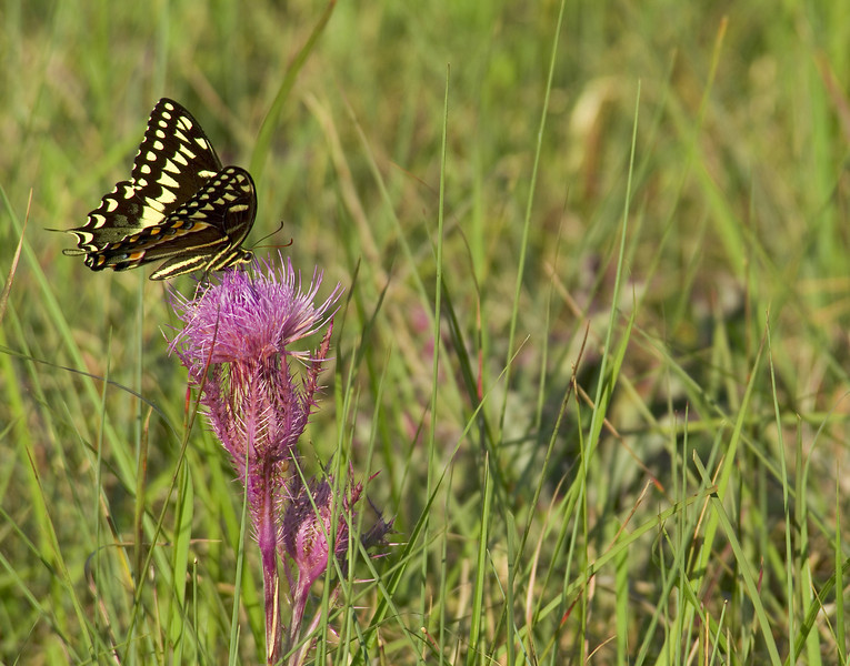 Swallowing Milk<br /> <br /> A Tiger Swallowtail butterfly alights upon pink milk thistle <br /> Big Bend National Park, Texas, USA