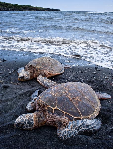 Punalu'u Turtles 2<br /> <br /> Two Hawaiian Green Sea Turtles on Punalu'u Black Sand Beach<br /> Big Island, Hawai'i, USA