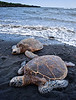 Punalu'u Turtles 2<br /> <br /> Two Hawaiian Green Sea Turtles on Punalu'u Black Sand Beach<br /> Big Island, Hawai'i, USA