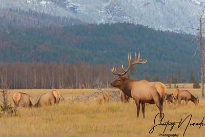 A Bull Elk and His Harem During The Rut