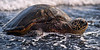 Thru The Surf<br /> <br /> A green sea turtle swims up to the black beach of Punalu'u<br /> Big Island, Hawai'i, USA