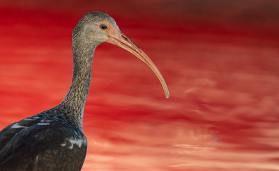 White Ibis In Red