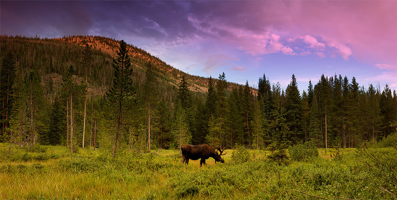 Bull Moose of the Uinta's, PANO
