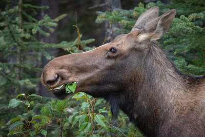 Moose Munchies