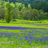 Lupine field near Lebanon Oregon.