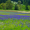 Spring field flowers near Lebanon Oregon