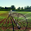 Irrigation of Bush Beans near Corvallis. OR
