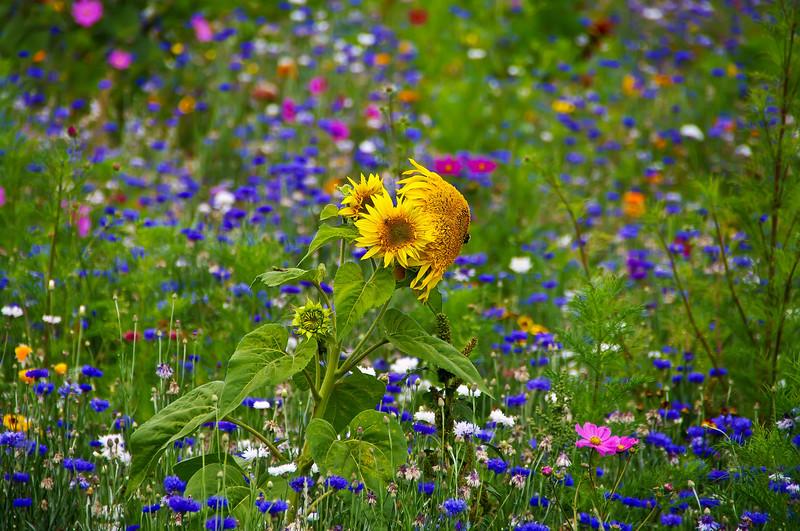 Sun flowers shine among the wildflowers in a field near Albany Oregon.