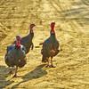 Curious Wild Turkeys near Suver Oregon
