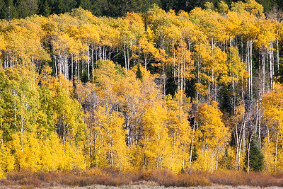 Aspen Turned Gold in the Gros Ventre Mountains, Wyoming