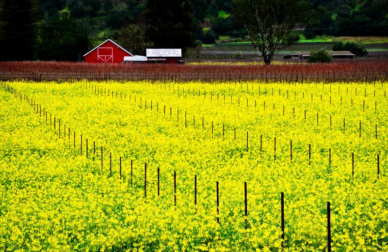 Barn in Mustard Field - Napa